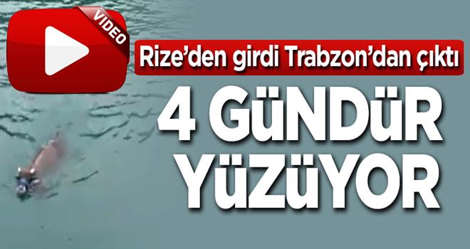 Rize'den girdi, Trabzon'dan çıktı! 4 gündür yüzüyor