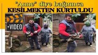 Trabzon'da, 'Anne' diye bağıran horoz kesilmekten son anda kurtuldu.