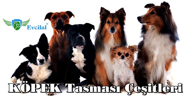 Köpeğiniz ile Yürürken Onu Kolaylıkla Kontrol Etmenizi Sağlayan Köpek Tasması Çeşitleri
